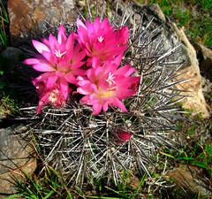 Neoporteria nigrihorrida (Umadeave) Tags: chile cactus montagne plante flora chili desert flore eriosyce neoporteria nigrihorrida