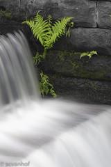 Hanging in there (Arjan van Hof) Tags: longexposure fern water movement