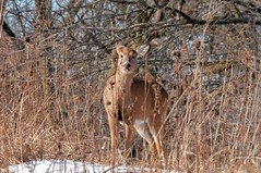 2016 White-tailed Deer 6 (DrLensCap) Tags: park winter chicago robert nature animal mammal illinois village north center il deer whitetailed