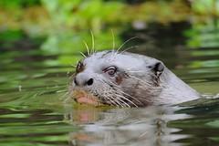 Ariranha / Giant Otter (anacm.silva) Tags: wild brazil naturaleza nature brasil mammal wildlife natureza pantanal rioclaro mamfero giantotter ariranha pteronurabrasiliensis lontragigante lobodorio
