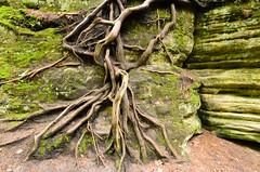 Grasping (Josh Thompson) Tags: cliff tree roots matthiessenstatepark sigma1020mmf456exdc d7000 lightroom5