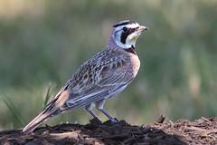 Horned Lark (Bill7870) Tags: bird nature canon geotagged newjersey nj hornedlark rancocascreek canon400mmf4do canon7dmk2 lauralrunpark