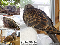 Oriental turtle dove. From date 6.01 to June 26 (over_frost) Tags:   bird   dove  orientalturtledove  protected  japan   saitama kanto