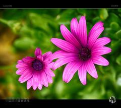 Colours of Winter (tomraven) Tags: pink flowers winter flower macro lumix purple gren flowermacro gx8 tomraven aravenimage q32016