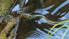 On the hunt - Auf der Jagd (Stephan Gthlein Fotografie) Tags: germany deutschland snake natur schlange grasssnake ringelnatter markbrandenburg natrixnatrix mrkischeschweiz stobbertal naturbeobachtung grosertornowsee