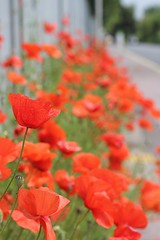 Along the Fence (haberlea) Tags: road flowers red plants green nature fence pavement vibrant poppies