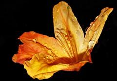 Azalea blossom after heavy rain showers (ToniFernando) Tags: macro blossom raindrops azalea