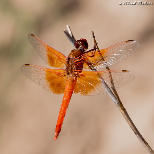 "Flame Skimmer • <a style=""font-size:0.8em;"" href=""http://www.flickr.com/photos/59465790@N04/27362820590/"" target=""_blank"">View on Flickr</a>"