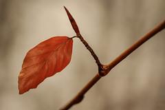Beech Leaf (hvsf112) Tags: wood orange tree water leaves forest leaf wasser bud blatt wald baum beech buche