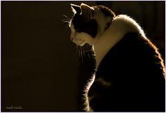 feline attitude  (www.nathalie-chatelain-images.ch) Tags: light shadow sun silhouette cat soleil nikon feline chat lumire ombre shape lowkey flin