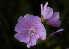 Wild Flower (Hugo von Schreck) Tags: flower macro blume makro wildflower blte wildblume malvasylvestris wildemalve tamron28300mmf3563divcpzda010 canoneos5dsr hugovonschreck