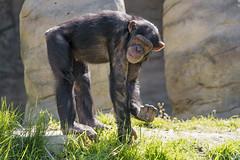 Chimp with something in the hand (Tambako the Jaguar) Tags: hand holding standing rock stone grass chimp chimpanzee ape monkey primate cute walter zoo gossau stgallen switzerland nikon d5