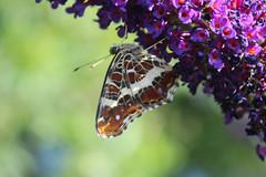 Araschnia levana (Linnaeus, 1758) - underside (Marcell Krpti) Tags: butterfly hungary map lepidoptera nymphalidae araschnialevana nymphalinae pszt pkhlslepke
