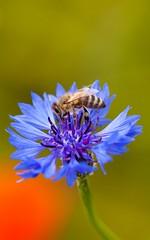 _MG_7818 (TobiasW.) Tags: blue field weather clouds feld wolken blau wetter cornflowers cornflowerfield kronblumen kronblumenfeld