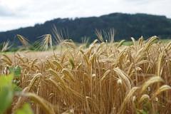 Weizen Wheat (AndiB.78) Tags: nature wheat natur feld bauer farmer agricultural ernte weizen weizenfeld feald