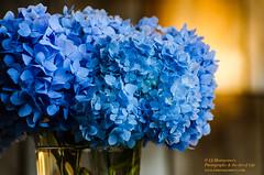 _DSC2828.jpg (Linda S. Montgomery) Tags: flower hydrangea hydrangeamacrophylla frenchhydrangea