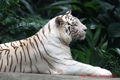relaxing (tomzcafe) Tags: singapore whitetiger singaporezoo 400d takumar20035