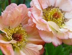 Lovely geum (gomosh2) Tags: geum doublefantasy flowermacro