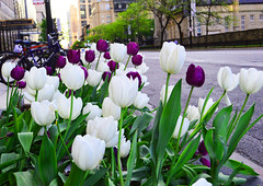 White and Purple Tulips (Darshan Simha) Tags: flowers white plant chicago flower tulips outdoor michigan violet flowerbed tulip