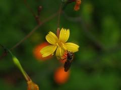 Wildflower (libra1054) Tags: macro nature yellow closeup jaune bokeh outdoor natur natura amarillo amarelo gelb giallo wildflowers wildblumen floressilvestres fioriselvatici fleurssauvage