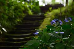 behind the noisy world (Shokosseite) Tags: moss steps hydrangea