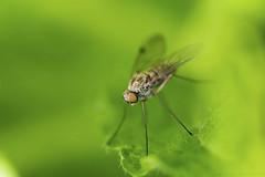 Garden Friend (Amar Sood) Tags: macro green insect fly nikon sigma d610 sigma105mm insectweek