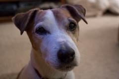 Pretty Boy, Seamus. Nov. 22, 2014 (marylea) Tags: dog seamus terrier jackrussell jackrussellterrier nov22 2014 parsonrussell parsonrussellterrier