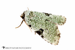 Green Leuconycta - Hodges#9065 (Leuconycta diphteroides) 20160628_0641.jpg (Abbott Nature Photography) Tags: animals photography us unitedstates alabama moth technique gordo hexapoda insectainsects whiteseamlessbackground arthropodaarthropods lepidopterabutterfliesmoths noctuidaeowletmothsmillermoths organismseukaryotes invertebratainvertebrates