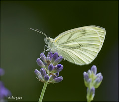 Geaderd Witje 300616(1) (Gertj123) Tags: summer white nature netherlands butterfly insect purple vlinder witje sigma120300mmf28