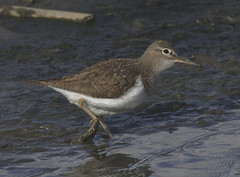 Common Sandpiper (Fylde Bird Club) Tags: commonsandpiper newtonmarsh
