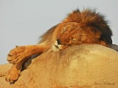 The King...... (aroon_kalandy) Tags: sleeping nature animal dubai king lion aroonkalandy