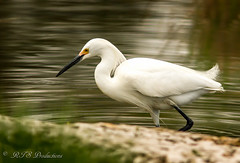 Beautiful White Egret (Rick Smotherman) Tags: park nature water birds canon garden outdoors morninglight spring fishing pond feeding may overcast 7d runningwater forestpark cloudysky canon300mmf4l canon7d canon14teleconverter