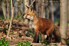 Red Fox (John Prior 55 - new job...back soon) Tags: ontario nature animals fauna ngc kits mammals foxes redfoxes fantasticnature alittlebeauty coth5