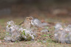 Female Chaffinch, Fringilla coelebs gathers nest material. Spring. Uk (PANDOOZY PHOTOS) Tags: uk bird birds female garden spring nest finch material chaffinch fringilla coelebs collects fringillidae gathers