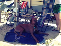(jimmyhere) Tags: texas rhodesianridgeback portaransas uploaded:by=flickrmobile flickriosapp:filter=chameleon chameleonfilter