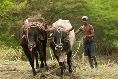 IMG_6259 (ronsavage) Tags: haiti best plowing oxen hinche
