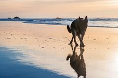 (petricore) Tags: sunset dog reflection beach 50mm coast dusk shepherd german f18 germanshepherd gsd d90