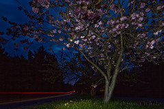 Night blossom (nzweeble) Tags: light night canon cherry blossom tokina trail 7d nostrobistinfo removedfromstrobistpool seerule2