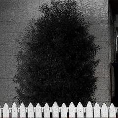 A04671 / ominous shrub in the night (janeland) Tags: california blackandwhite bw white night square blackwhite handheld desaturated 100 shrub dalycity picketfence topofthehill 94014 santabarbaraavenue pe016