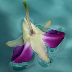 Floating (j.towbin ) Tags: blue orchid flower macro wet water pool aqua purple allrightsreserved macromonday allrightsreserved