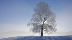 (vinhpz0) Tags: winter light sky sun mist snow cold beauty sunshine landscape outdoors one switzerland europe solitude frost mood gloomy seasons scenic nobody fresh evergreen serenity backlit copyspace majestic sunbeam baretree mystic clearsky treebranch limetree centraleurope deciduousplant beautyinnature cooltone oneobject flickrandroidapp:filter=none zugcanton
