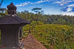 Rice terraces #1 (Ausamah) Tags: old travel sky bali woman man reflection green art love water girl beautiful field indonesia temple photography bahrain paradise child gulf rice julia farmers terrace farm pray grow scene arabic eat national arab roberts arabian agriculture hindu indonesian geographic peasant balinese ausamah alabsi