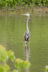 GREAT BLUE HERON (nsxbirder) Tags: indiana greatblueheron lawrenceburg oxbow ardeaherodias
