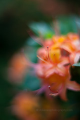 IMG_1552 (mikereidphotography) Tags: flowers abstract flower floral dof bokeh rhododendrons canonphotography zeiss50mmze