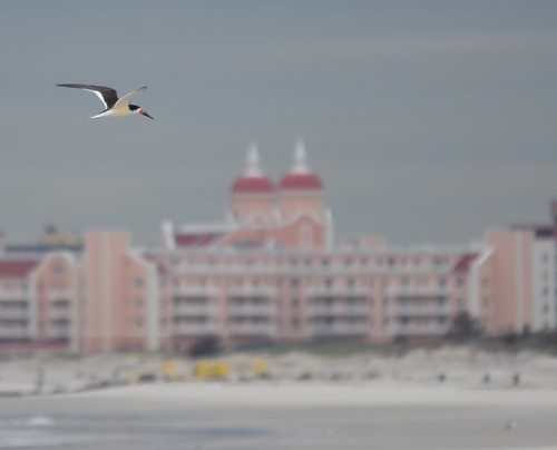 Black Skimmer flying