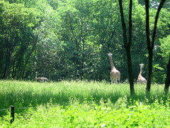 Two giraffes and an ostrich (Coyoty) Tags: park city newyorkcity brown ny newyork green bird nature animals fauna mammal zoo african bronx scenic ostrich giraffes bronxzoo tall animalplanet avian