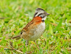 Rufous-collared Sparrow (Zonotrichia capensis) (shelshots) Tags: bird nature rica sparrow avian rufouscollared sparrowzonotrichia capensiscosta