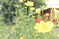 Yellow (tresiacercado) Tags: flowers up yellow canon eos diliman updiliman universityofthephilippines 1100d