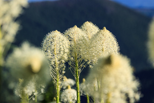 "Beargrass • <a style=""font-size:0.8em;"" href=""http://www.flickr.com/photos/56452031@N00/9186394780/"" target=""_blank"">View on Flickr</a>"