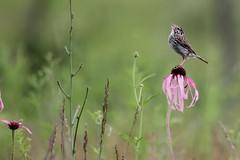 Savannah Sparrow (Rita Wiskowski) Tags: bird wisconsin sparrow milwaukee coneflower savannah prairie milwaukeecounty benderpark